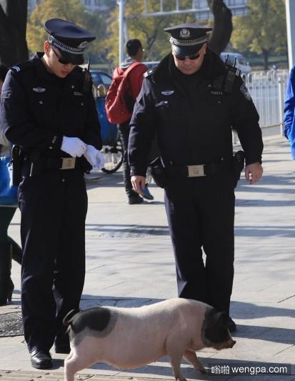【搞笑段子】派出所院子里跑进来一只小猪,把民警种的菜给吃了