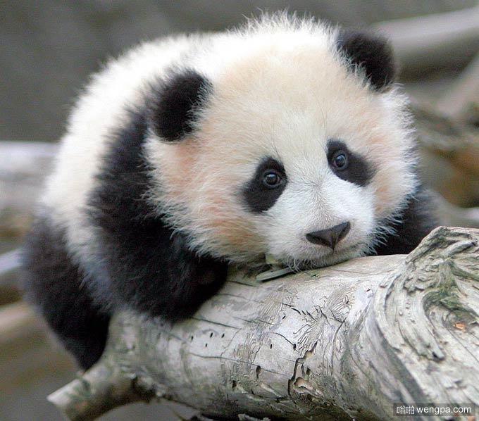 可爱大熊猫宝宝