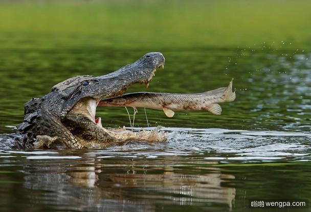 鳄鱼吃鳄雀鳝 你们不是亲戚么-嗡啪搞笑图片