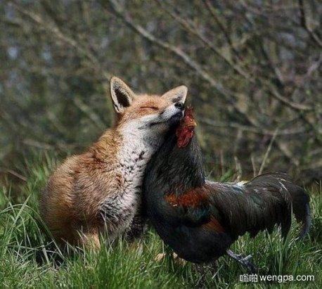 狐狸和鸡好上了 我又相信爱情了
