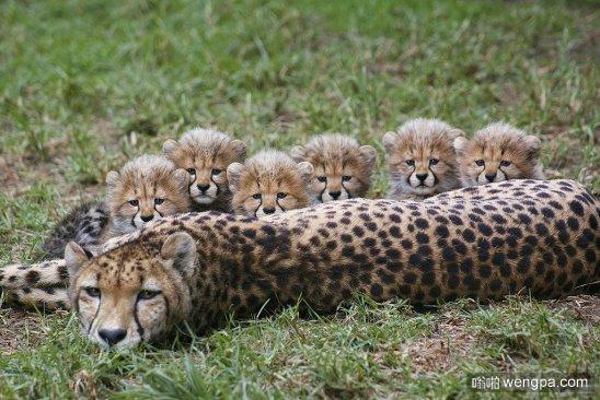 猎豹妈妈和萌宠可爱的小猎豹宝宝