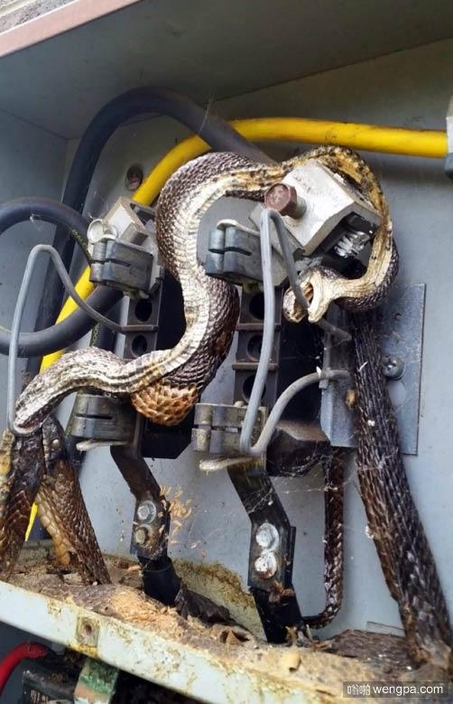 蛇意外触电 另一条蛇过来帮忙也被电死