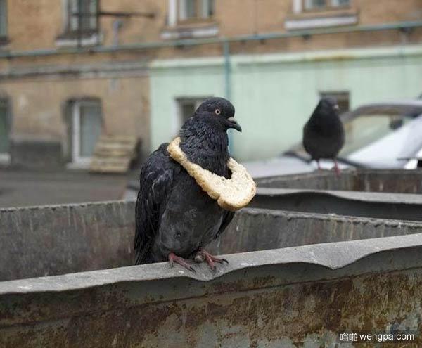 史上最懒的鸽子