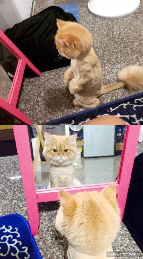喵星人被剃完毛之后 在镜子前照了很久了 还是不肯离去!