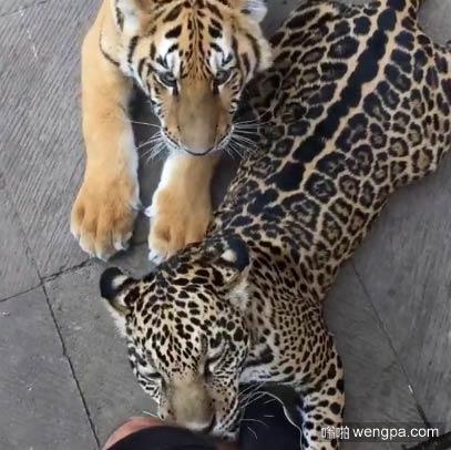 豹子喜欢舔我的腿 但老虎却喜欢啃