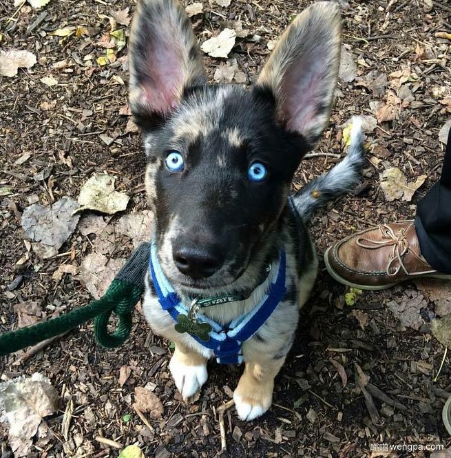 清澈的蓝眼珠小猎犬