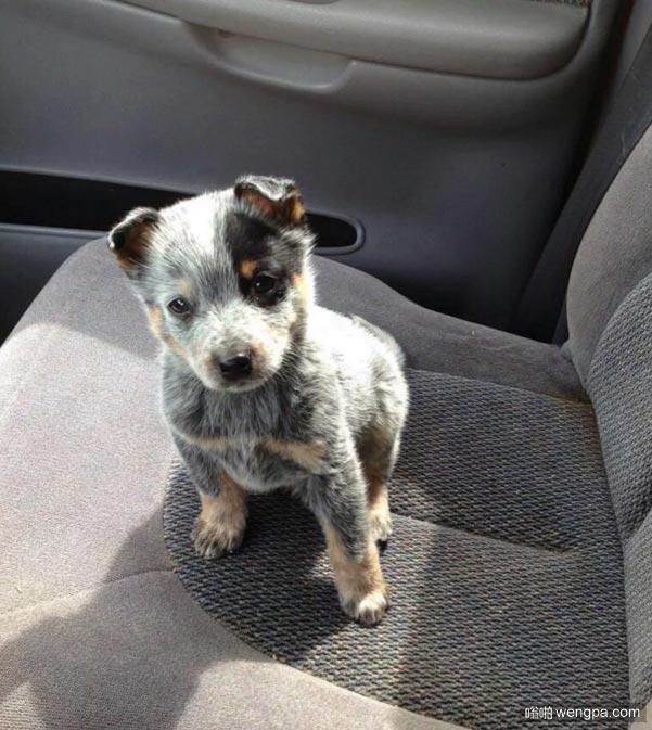 可爱蓝色赫勒犬小狗  澳大利亚牧牛犬-嗡啪萌宠图片