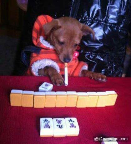 狗狗打麻将 狗狗搞笑图片-嗡啪萌宠图片