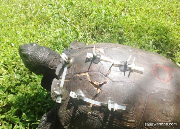 乌龟被汽车轧到,龟壳也碎了 救护人员用胶水和拉链固定龟壳 - 嗡啪奇闻趣事