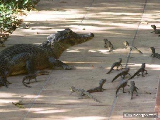 沼泽的鳄鱼和它的小鳄鱼