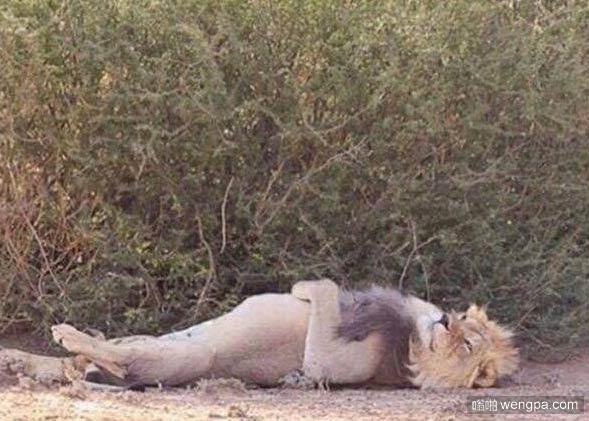 当你忙完一天舒服的躺一会儿_狮子睡觉姿势-嗡啪搞笑图片