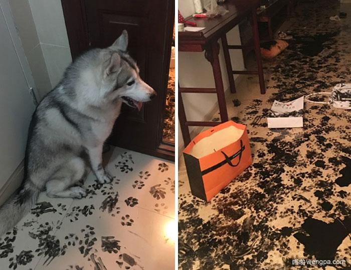 一家人离开哈士奇3小时 狗重新设计的公寓