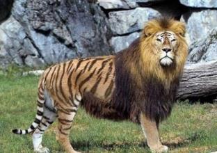 【小明滚出去搞笑段子】老虎和狮子杂交出来的是什么