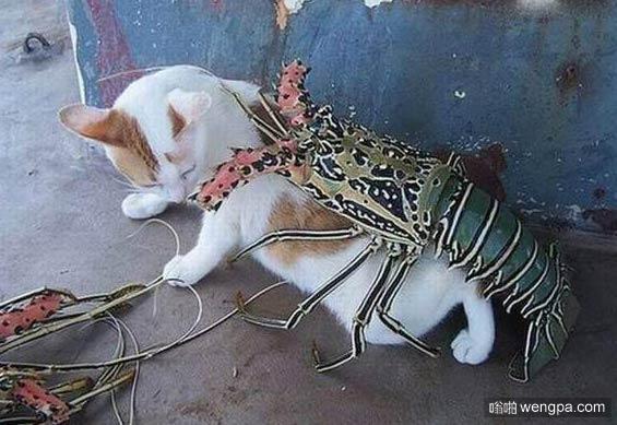 这龙虾跟泰迪有一拼了_猫_龙虾_搞笑图片 - 嗡啪搞笑动物