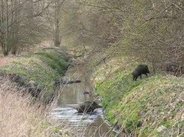 等等它们:野猪一家过河