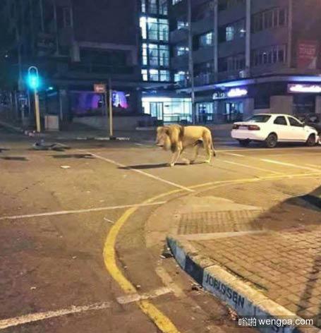 晚上在南非街头一只狮子在溜达 - 嗡啪奇闻趣事