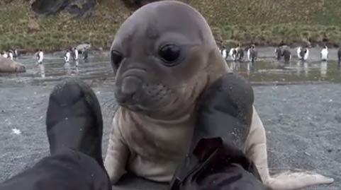 海豹宝宝想做朋友 海豹萌宠视频