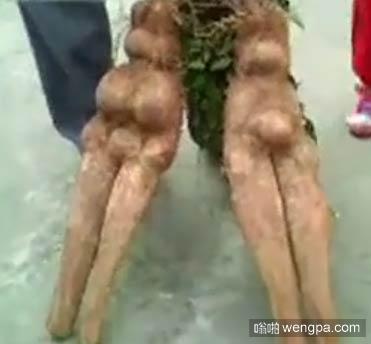 东莞一工地挖出人形山药 网友:用模具栽的