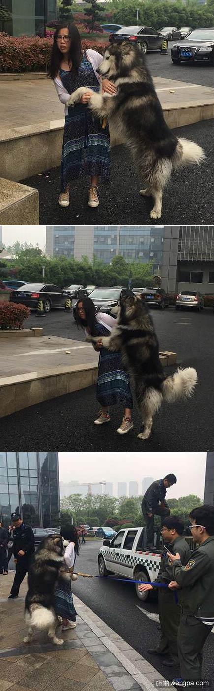 走丢阿拉斯加缠住过路女生不放 城管出动将狗牵走
