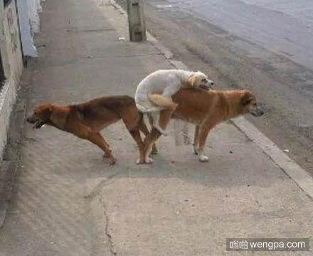 狗狗玩3P高难度动作 邪恶内涵图