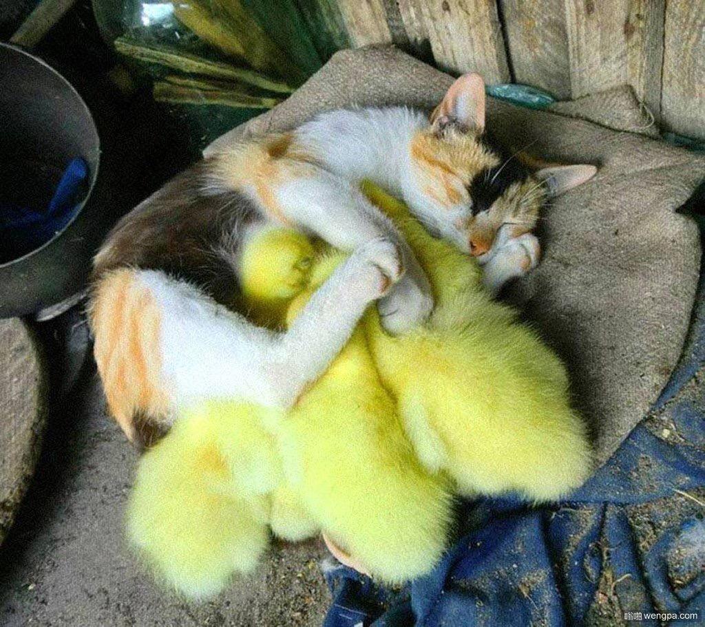小猫保护它的小黄鸭