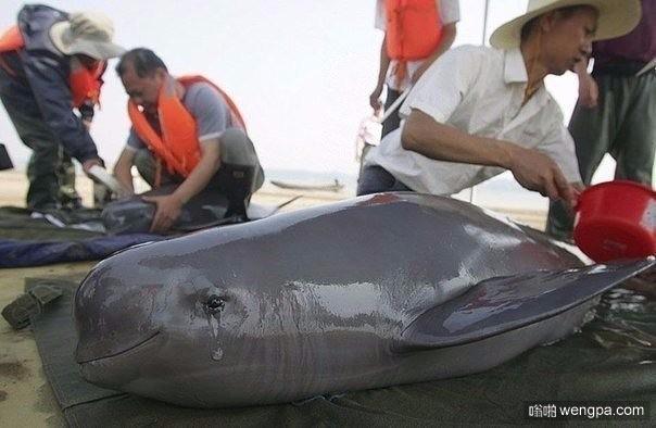 哭泣的海豚从渔网获救