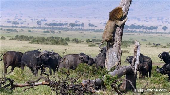 狮子上树是这样炼成的-嗡啪搞笑狮子