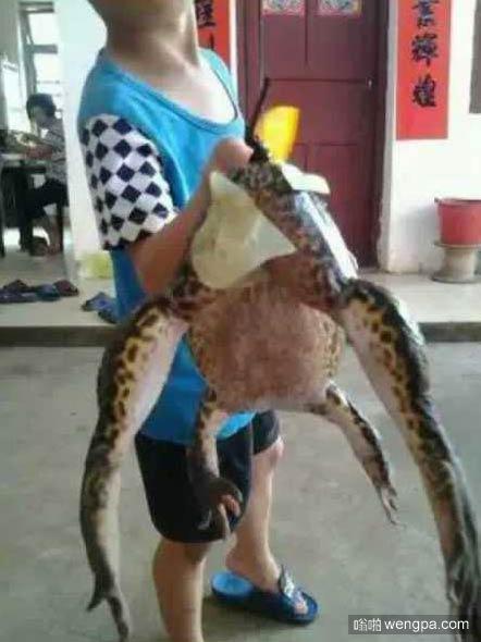 八斤重青蛙 广东村民抓到8.6斤巨型青蛙 村民说是蛙精将其放生
