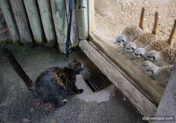 一只猫穿过动物园发现猫鼬
