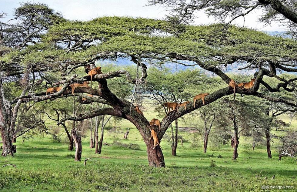 狮子上树 狮子扎堆树上小憩 大树上面好乘凉-嗡啪奇闻趣事