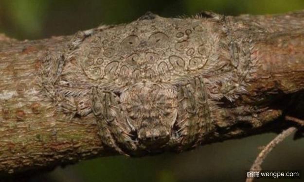 看似普通的树枝 凑近一看汗毛都竖起来了