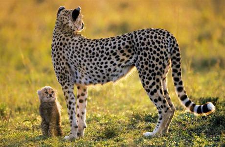 一只小猎豹望着妈妈 猎豹幼崽和妈妈萌宠图片