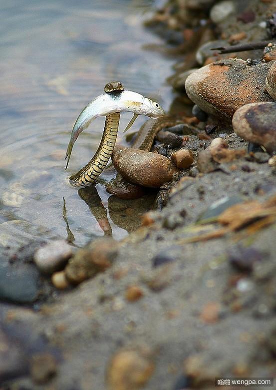 一条勇敢的蛇救了溺水的鱼