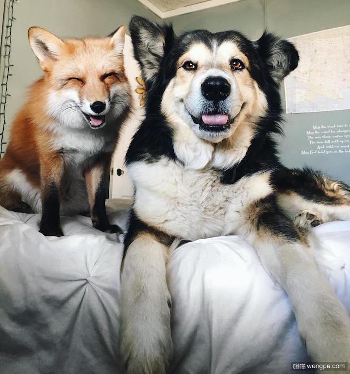 萌宠图片:狗狗和快乐狐狸之间的友谊故事-嗡啪萌宠图片