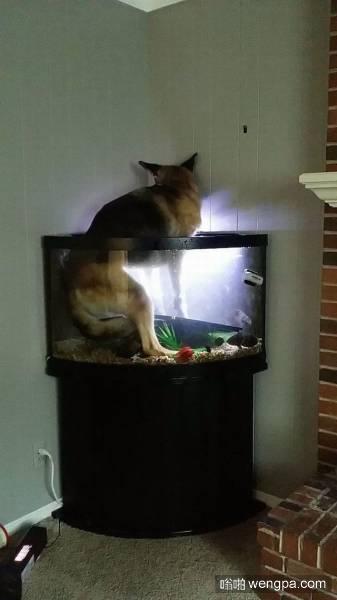 狗狗找错窝了 希望鱼缸里养的不是食人鱼