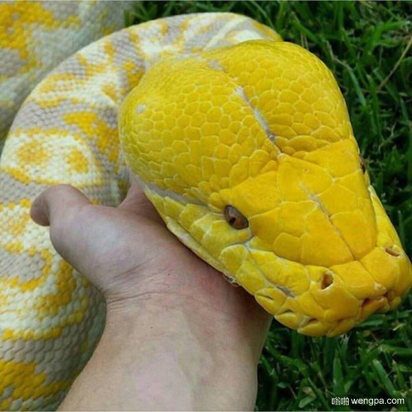 养了几年的宠物蛇
