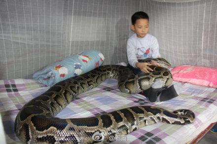 我十五岁时去放牛被一条三百多斤的蟒蛇缠过