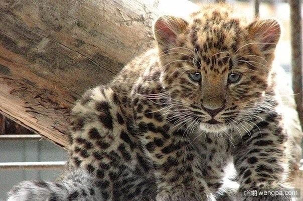 阿穆尔豹 – 猫科动物最稀有的代表 全世界只有40只