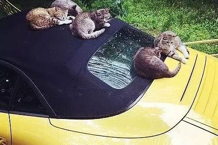 连猫都喜欢跑车