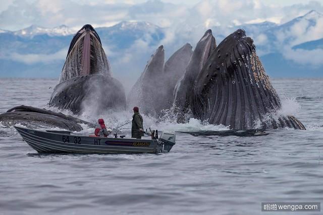 近距离观看鲸鱼集体捕食