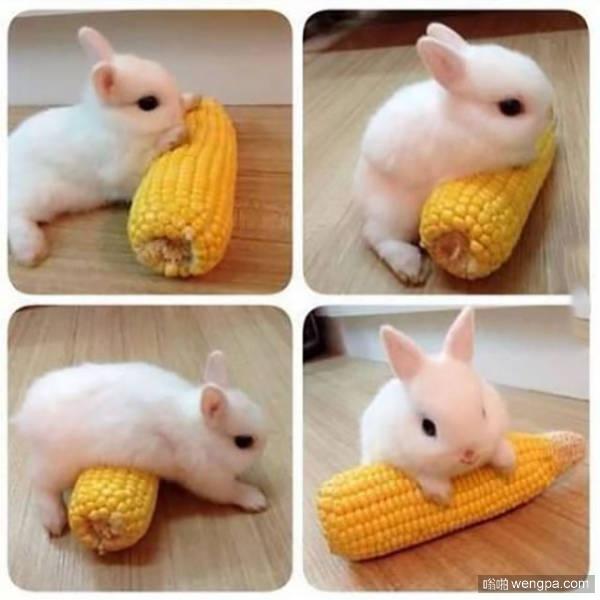 可爱小白兔在玉米上练瑜伽-嗡啪萌宠图片