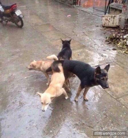 搞笑狗狗图片 邪恶狗狗4p图片-嗡啪搞笑图片