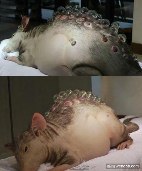 切尔诺贝利巨鼠 曾派军队消灭?