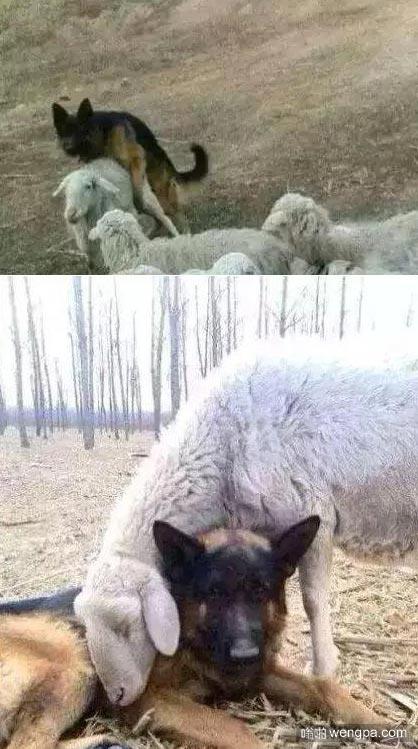 原来你是这样的牧羊犬