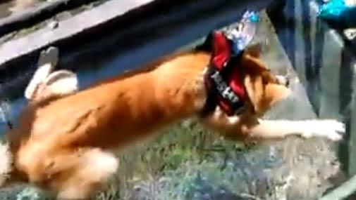 【视频】当狗狗走玻璃栈道