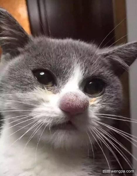 小猫的鼻子被蜜蜂咬伤