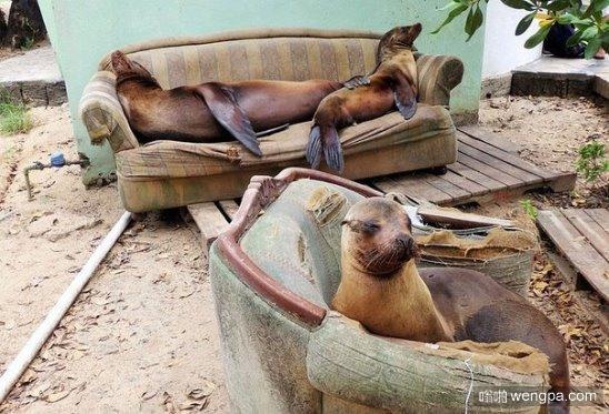 海豹在老沙发上晒太阳,加拉帕戈斯群岛