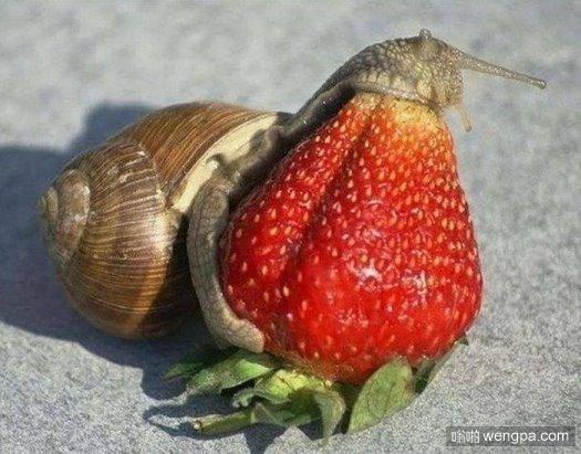 力不从心之蜗牛吞草莓-嗡啪搞笑动物