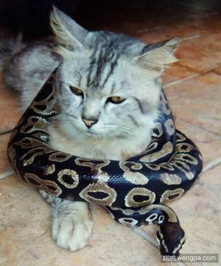 猫的蟒蛇围脖_猫和蟒蛇搞笑图片-嗡啪搞笑动物