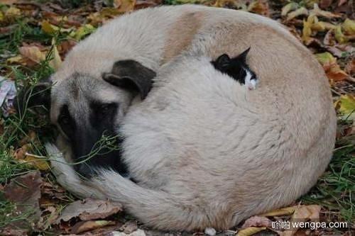 猫只露出半个脑袋依偎在狗狗怀里